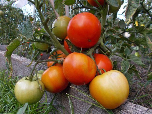 Сорт томатов Бони ММ