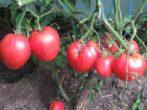 Сорт томатов Кардинал