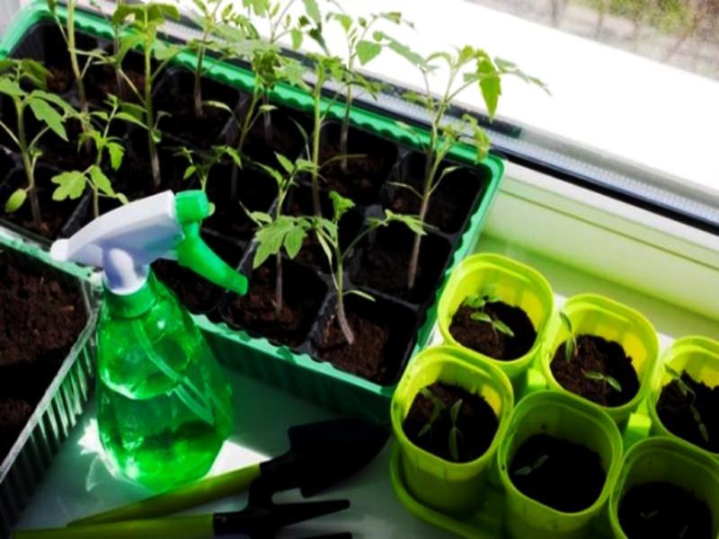 Выращивание рассады томатов – пикировка