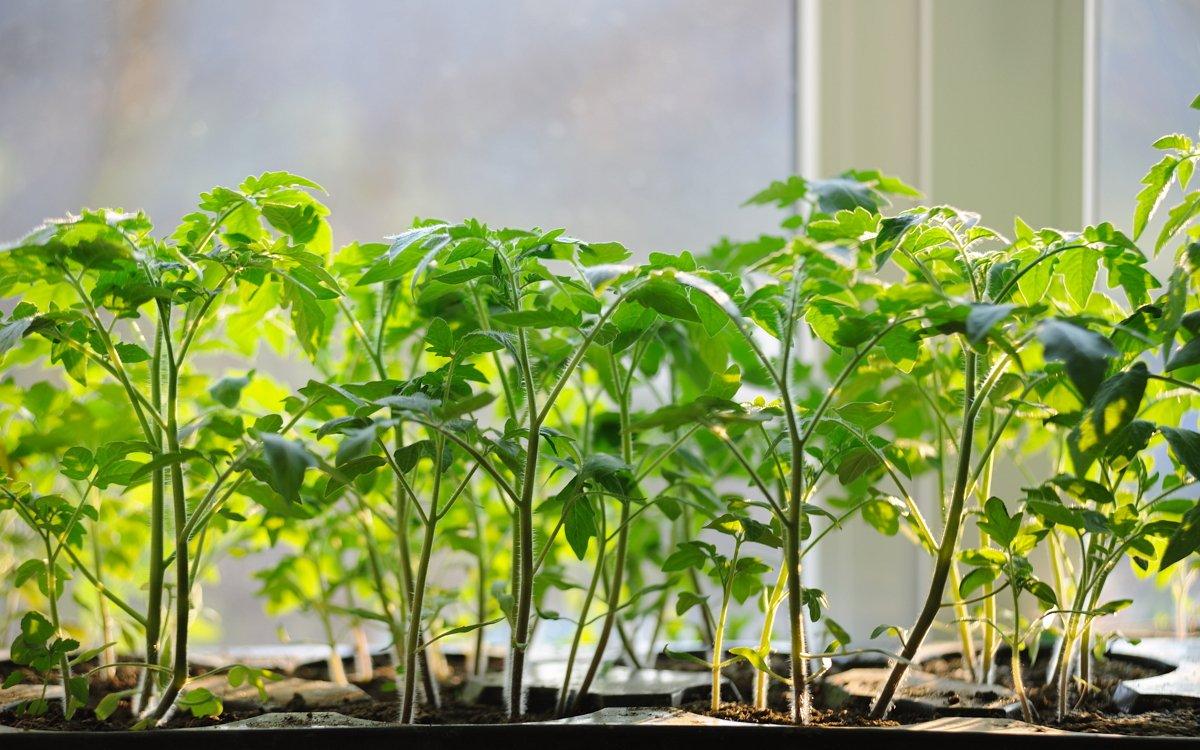 Как выбрать сроки для посадки помидоров на рассаду