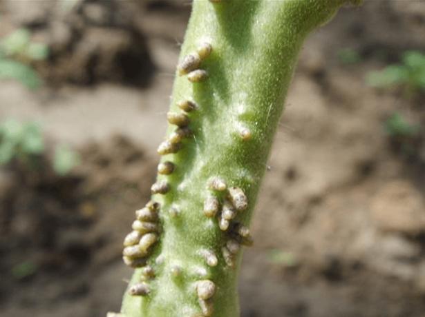 Зачатки корней на стебле томата