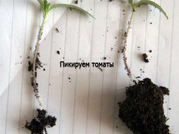 Сеянец помидора без земли на корнях