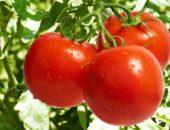 томаты санька