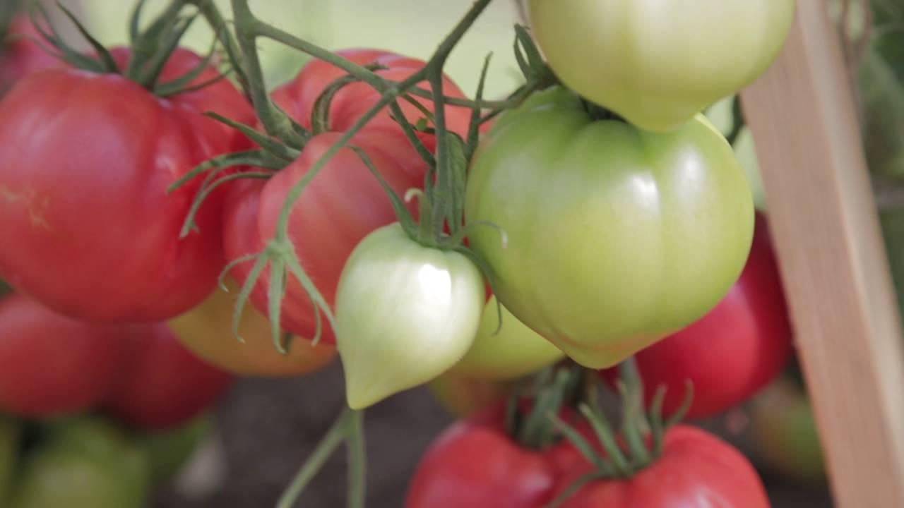Томат Будёновка: сортовые особенности, агротехника
