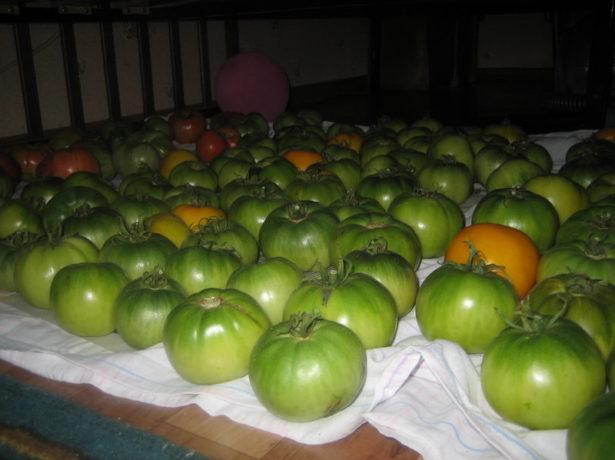 сбор незрелых жёлтых томатов