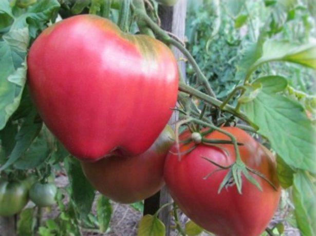 Созревающие томаты Батяня