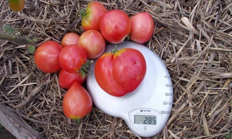 Сортовые особенности томата Батяня иагротехника выращивания