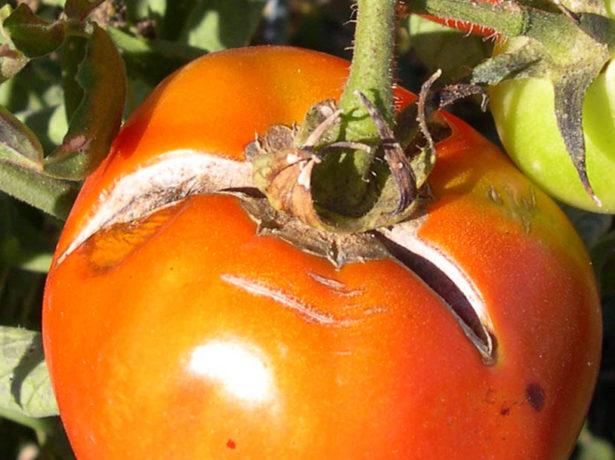 Расрескивание томатных плодов
