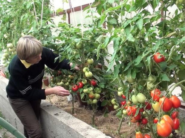 Тепличный способ выращивания крупноплодных помидор