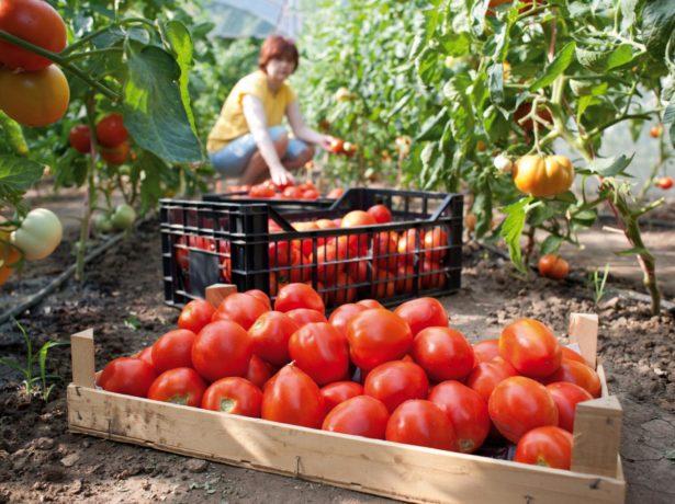 Ежедневный сбор томатов