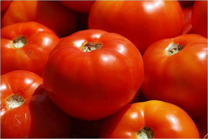 Нидерландская Рысь на огороде – помидоры сорта Бобкат