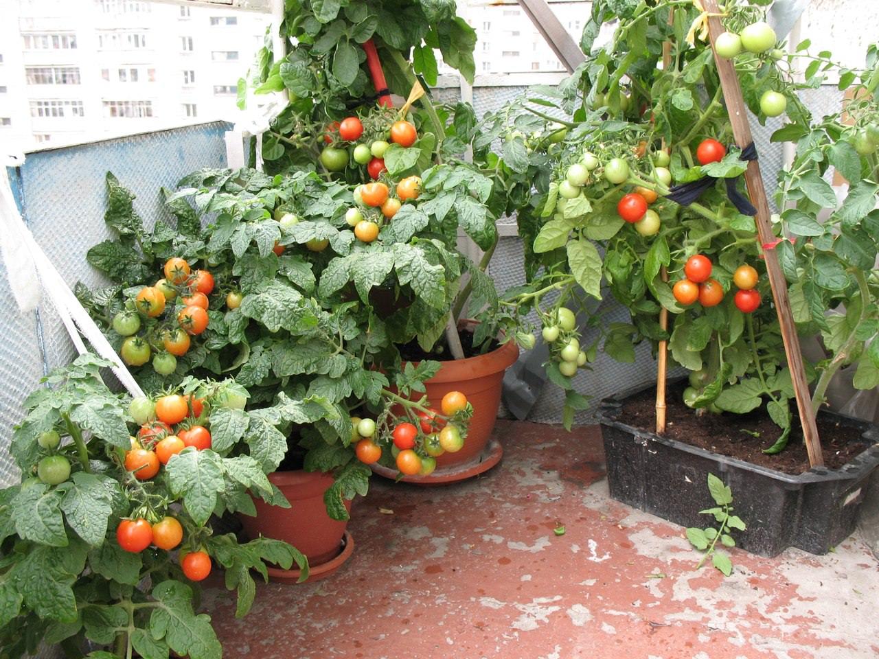 Компактные и яркие томаты Балконное чудо