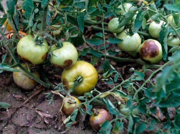 Фитофтороз на томатах