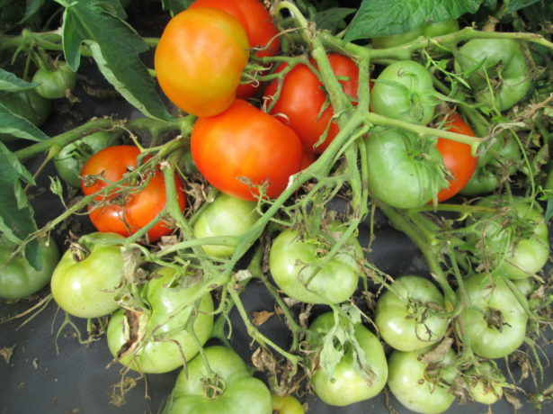 Стелющийся томат на спанбонде