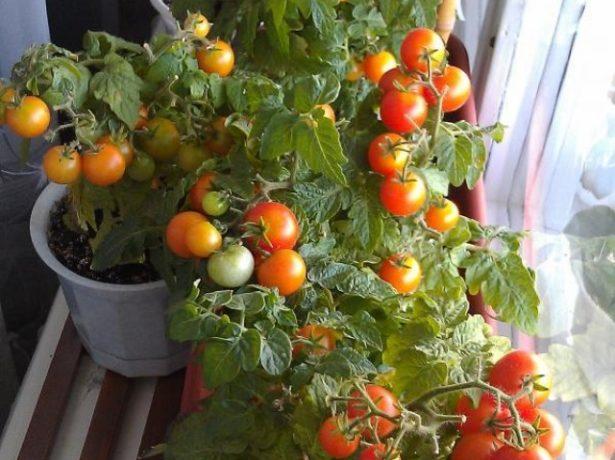 Урожай помидоров Балконное чудо на подоконнике