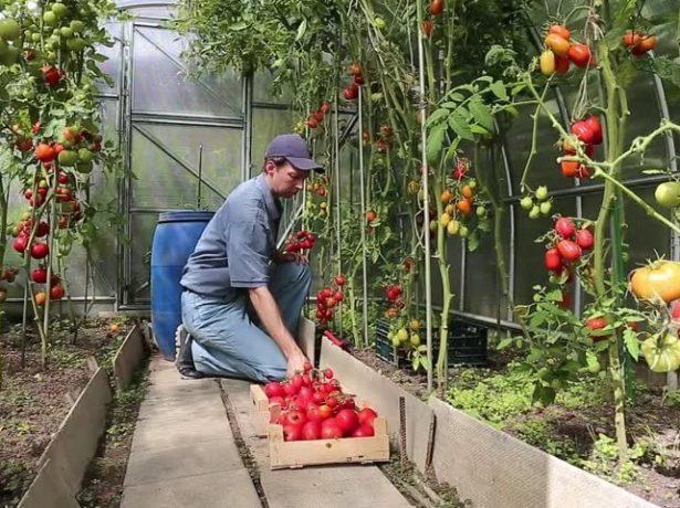 высокие томаты в теплице