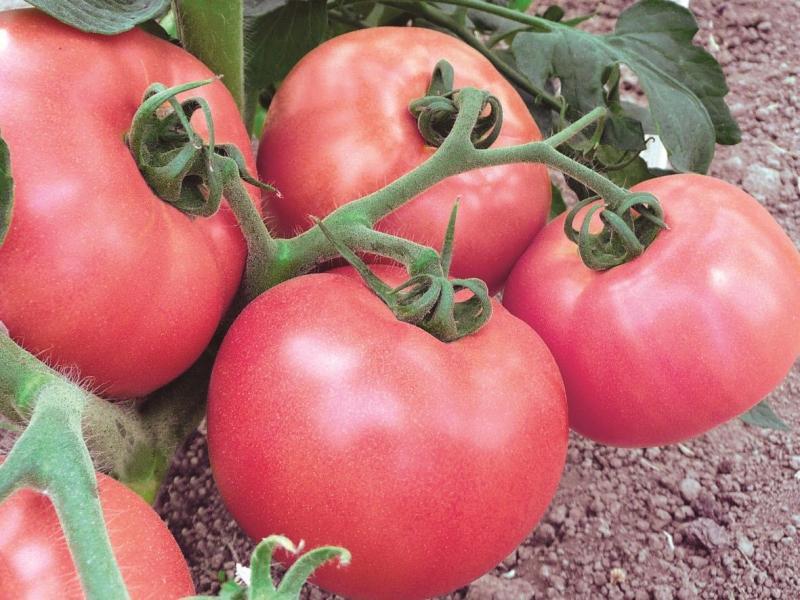 Вкусный здоровяк: описание томата сорта Вельможа и особенности выращивания крупных плодов