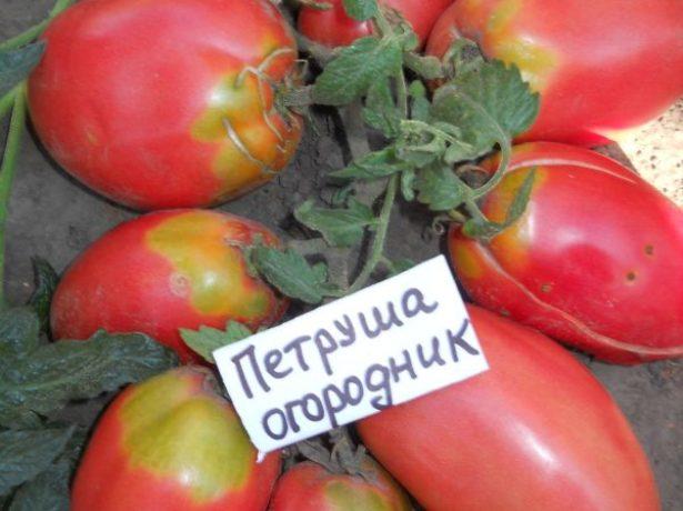 Окраска томатов Петруша огородник