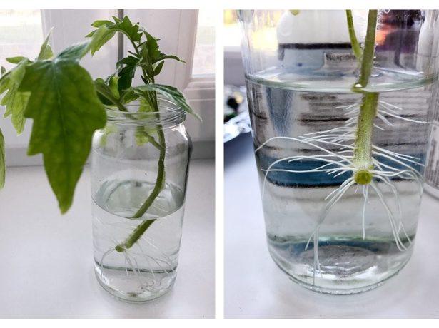 Укоренение рассады томатов