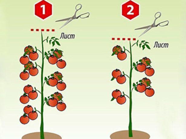 Схема формирования куста индетерминантных томатов