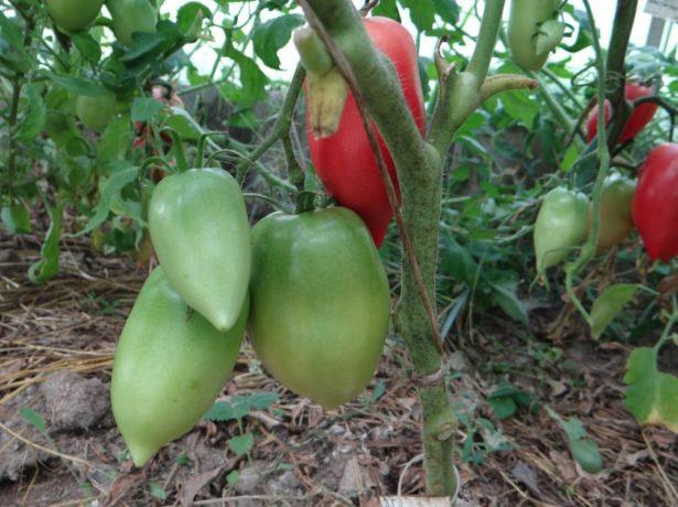 Томат сорта Кёнигсберг с плодами