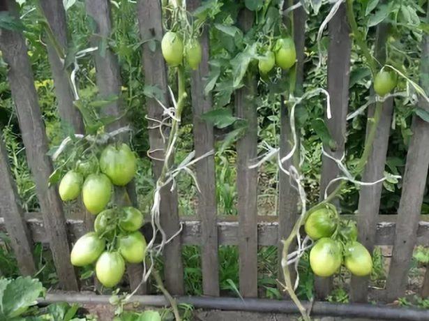 Подвязанные кусты томатов сорта Кёнигсберг