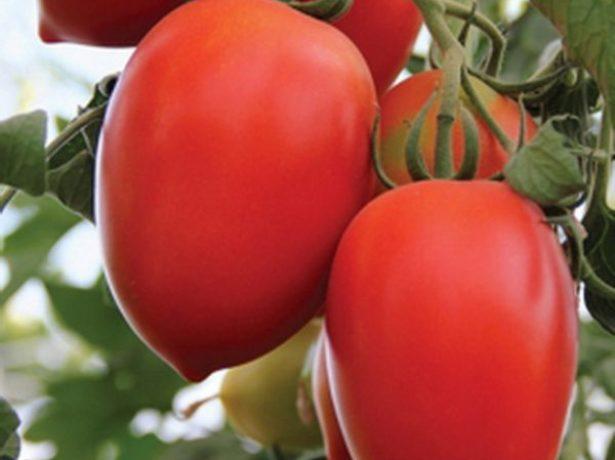 Спелые плоды сорта Кёнигсберг