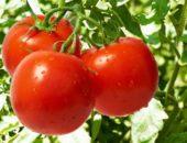 помидоры дубрава