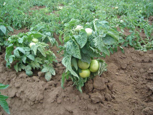 Штамбовый томат
