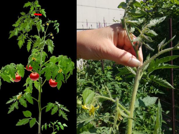 Схема и фото прищипывания томатного куста