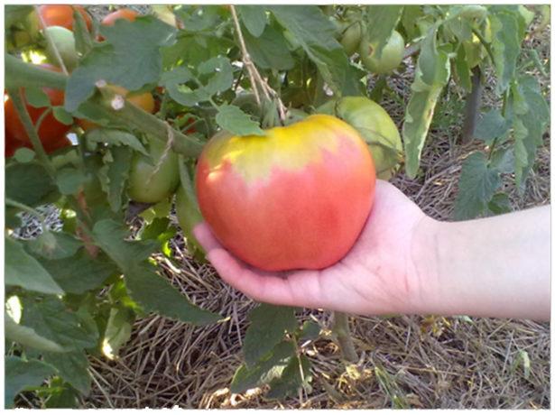 Пример подвязывания крупного помидора