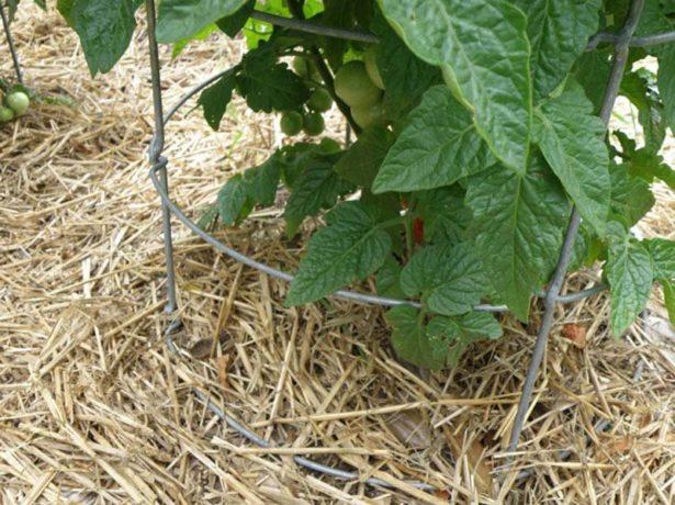 мульча на грядке помидоров
