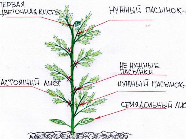 Схема формирования индетерминантного томата в три стебля