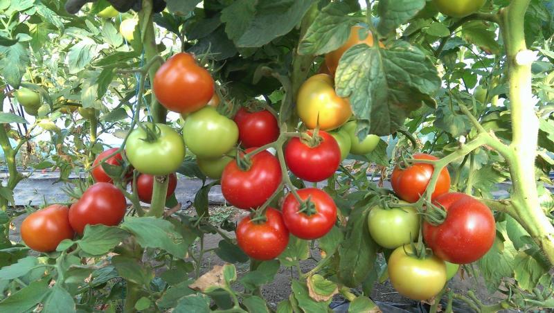 Лидер продаж — томат Благовест F1: описание и особенности выращивания