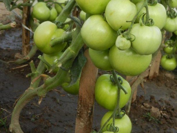 Окраска плодов