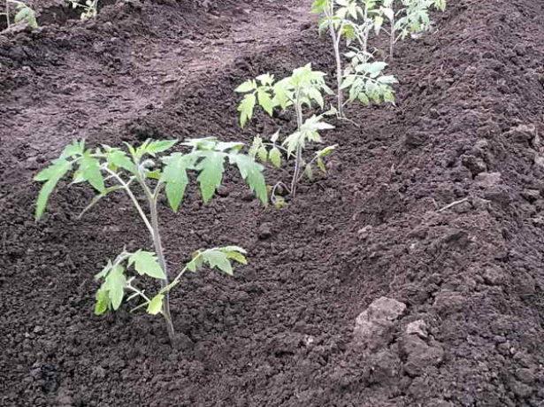 Рассада томатов после высадки