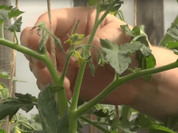 Вершкование томата