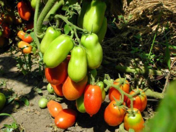 Плоды томата сорта Ракета