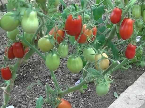 Сорт томата Ракета в теплице