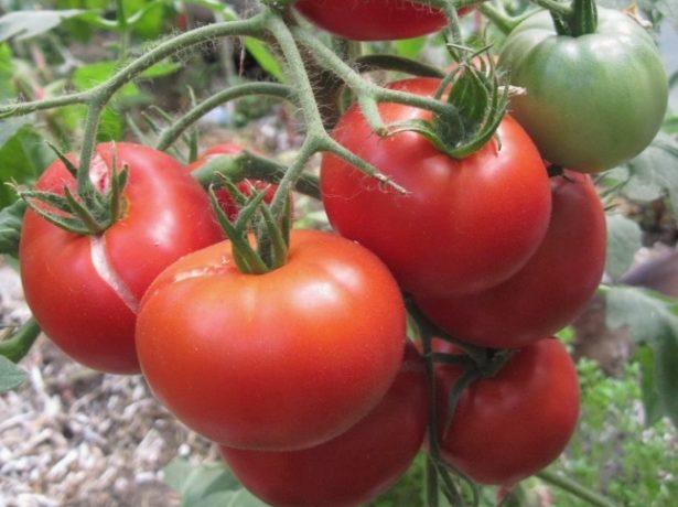 Плоды томатов сорта Агата
