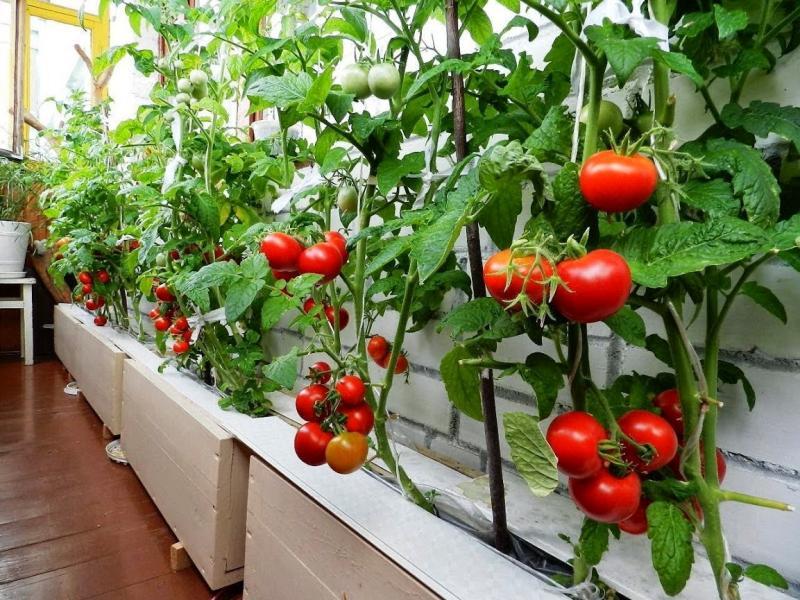 Правила посадки помидоров дома, в том числе на балконе