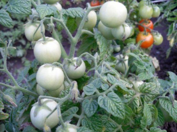 Сорт Дубрава с незрелыми плодами
