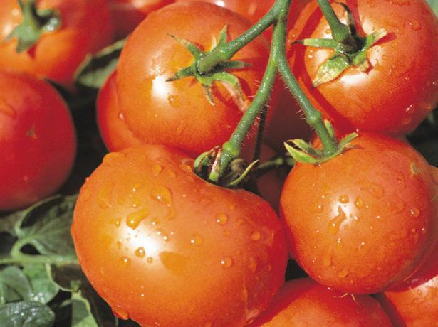 Сорт томата Дубрава_спелые плоды