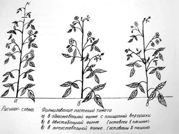 Схема формирования томатов в 1, 2, 3 стебля