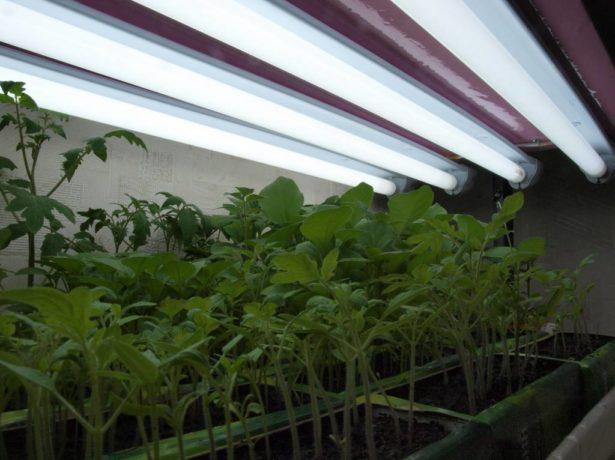 Подсвечивание рассады томатов
