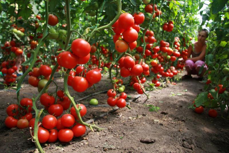 Оля F1 — томат для новичков и профи