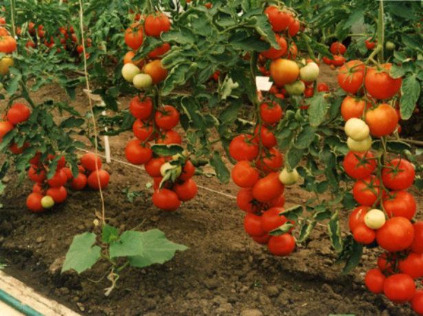 Кусты томатов Оля