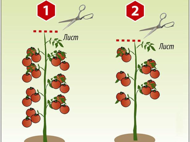 Схема формирования индетерминантного томата