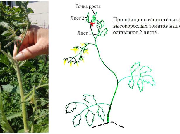 Прищипывание помидора
