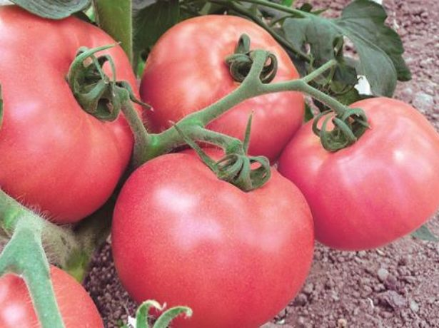 Плоды томатов сорта Медовый